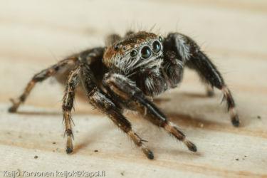 Hyppyhämähäkki (Salticidae sp.)