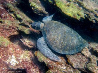 Galápagos green turtle (Chelonia agassizii)