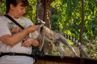 Rengashäntämaki (Lemur catta), Berenty