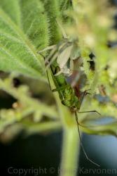 Kukkahämähäkki ja lude