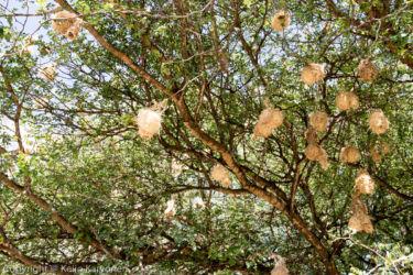 Kyläkutoja (Ploceus cucullatus)