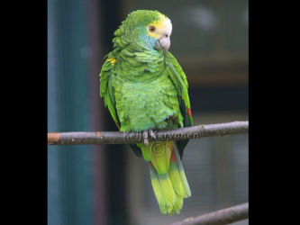 Amazona barbadensis, Vogelpark Walsrode. Walsrode 7/2002