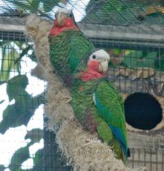 Kuubanamatsoni_Amazona_leucocephala