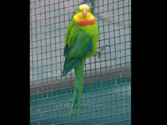 Polytelis swainsonii, Vogelpark Walsrode. Walsrode 7/2002