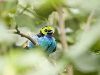 Paratiisitangara (Tangara chilensis)