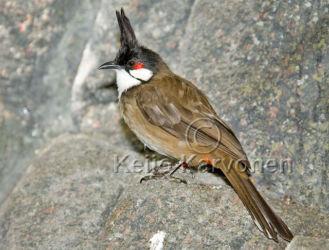 Punaposkibulbuli (Pycnonotus jocosus)