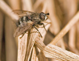 Kärpänen (Tachinidae/Bothria subalpina)