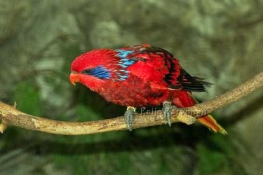 Tanimbarinluri (Eos reticulata)