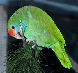 Tuliotsa-amatsoni (Amazona rhodocorytha)