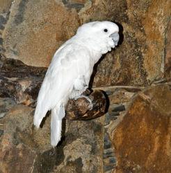 Valkokakadu (Cacatua alba)