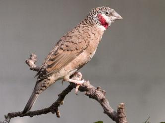 Viiltopeippo (Amadina fasciata)