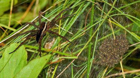 Rantahämähäkki
