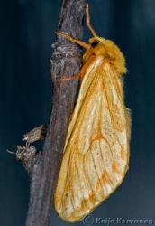 Humalaperhonen (Hepialus_humuli)