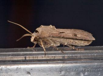 Huutomerkkiyokkonen (Agrotis exclamationis)