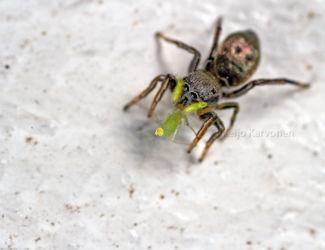 Hyppyhämähäkki ja saalis