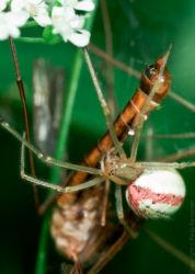Hämähäkki ja vaaksiainen