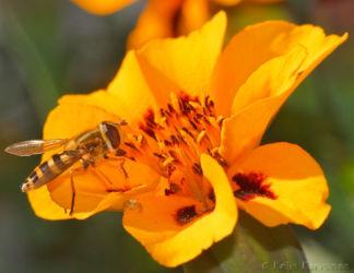 Kukkakärpänen ja kukkahämähäkki