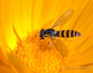 Kukkakärpänen