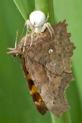 Kukkahämähäkki ja herukkaperhonen