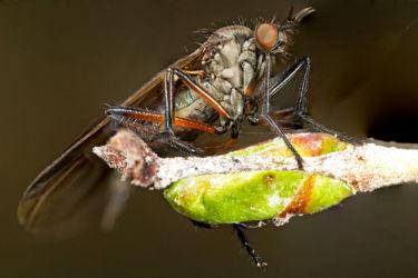 Tanhukärpänen
