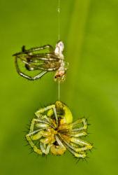 Hämähäkki luonut juuri nahkansa