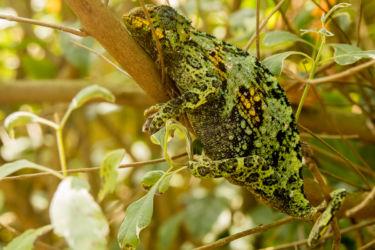 Kameleontti matelijapuistossa