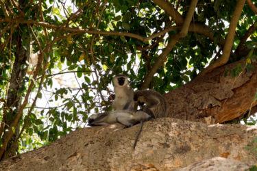 MArmosetti -apinoita
