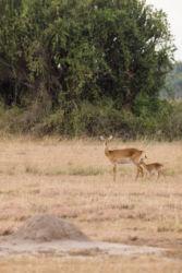 Kobi-antilooppi