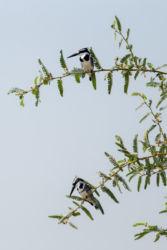 Kirjokalastaja (Ceryle rudis)