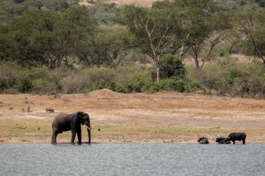 Elefantti ja vesipuhvelit Kazingan -kanaalissa