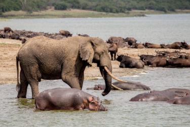 Elefantti, virtahepo ja vesipuhveli