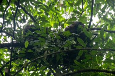 Simpanssi yöpesässään