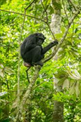 Simpanssi puussa