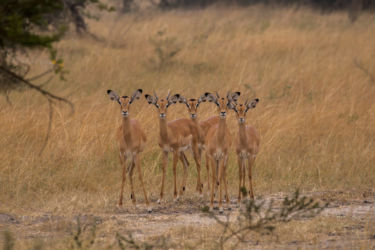 Impala-antilooppeja