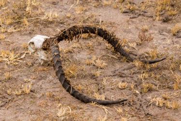 Kobi-antiloopin kallo