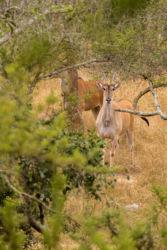 Elandi-antilooppi