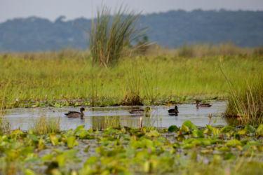 Keltanokkasorsa (yellow bill duck)